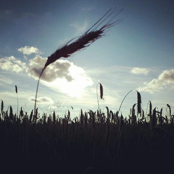 Roggenfeld in der Sonne