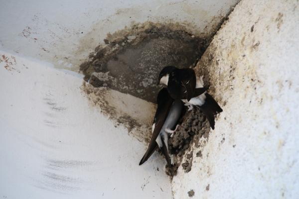 Mehlschwalbenpaar